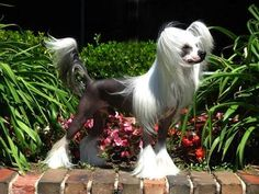 Chinese Crested Hairless and Powderpuff Information and Pictures