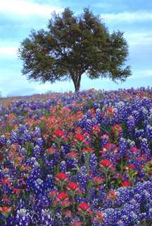 Bluebonnets and Indian Paintbrush, Hill Country, Texas