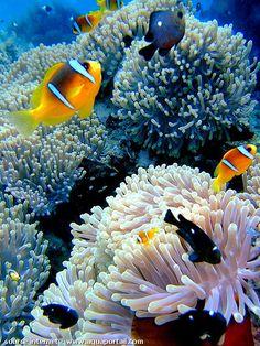 groupe d'Amphiprion bicinctus dans des anémones de mer Heteractis magnifica