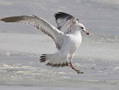 California Gull   Farmington Bay   Fred Holley   Flickr