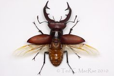 stag beetle - Szukaj w Google