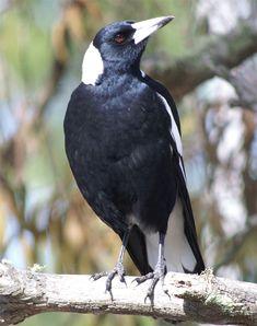 Bird Pencil Drawing, Bird People, Owl Photos, Bird Artwork, Australian Animals, All Birds, Bird Pictures, Beautiful Birds, Beautiful Pictures