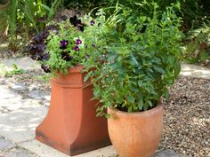 Refreshing mints are always a welcomed plant in a garden. Take advantage of the variety of sizes, fragrances and textures by planting several in different container gardens for the summer patio.