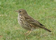 """As is quite usual, there was a Meadow Pipit in toe, Meadow Pipits hate Cuckoos and pester them constantly. A good way to spot a cuckoo is to look for this mobbing activity. Sometimes even if you can't see the Cuckoo, you know there is one there by the behaviour of the """"mobbing"""" birds."""