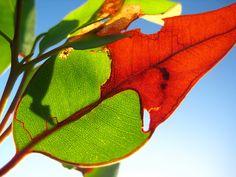 close-up photo of eucalyptus marginata leaf