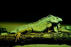 #animal #creature #dragon #exotic #fauna #green #head #iguana #jungle #lizard #nature #reptile #reptilian #tropical #wild #wildlife 4k
