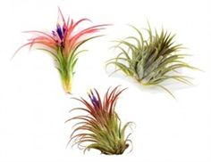 Buy Large Variety Ionantha Collection - Minimum Order of 25 - Discounts for Orders of More than 100 Plants.Visit http://www.airplantshop.com/Large_Ionantha_Collection_Event_Favors_p/lrg-ion-favor.htm