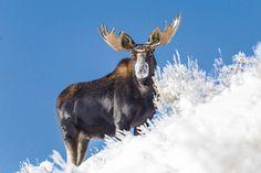 Bull Moose in the snowy Tetons, Wildlife Photography, Fine Art, Wall Art, Animal Photography, Rob's Wildlife, Epic Wildlife Adventures