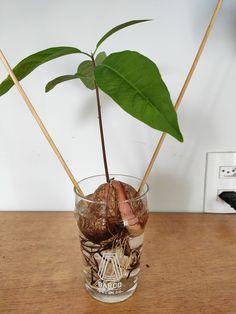 Wäre es nicht ein absoluter Traum, seinen eigenen Avocado-Baum im Garten zu haben? Und auf Toast, in den Salat oder einfach in eine Guacamole-Salsa seine selbst gepflückte Avocado zu geben, ohne dafür in den Supermarkt zu gehen? Aber wie kann man einen Avocadobaum aus Samen züchten? Ich zeige euch in diesem Tutorial Schritt für Schritt, wie man eine Avocadopflanze selber ziehen kann. Avocados sind eigentlich recht einfach zu züchten, sie sind jedoch sehr langsam wachsende Pflanzen. Es dauert…