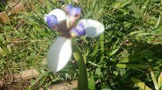 Flores mari