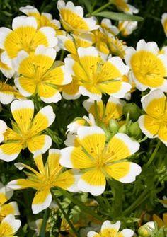 10 best allotment border flowers images on pinterest allotment limnanthes douglasii yellow flowersvegetable mightylinksfo