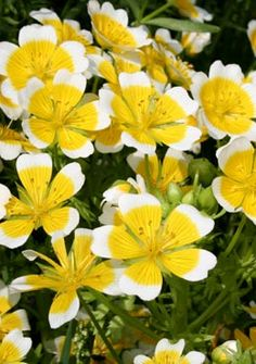 Looking good chaenomeles x superba jet trail stunning large the bright white and yellow cup shaped flowers create a cheerful patch of ground cover with the apt name of poached egg plant mightylinksfo Image collections