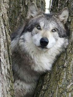 The soul of a wolf - pure beauty Wolf Spirit, My Spirit Animal, Beautiful Wolves, Animals Beautiful, Wolf Pictures, Animal Pictures, Animals And Pets, Cute Animals, Wild Animals