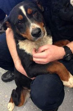 Prissy-bermese mountain dog mix is an adoptable Bernese Mountain Dog searching for a forever family near Seattle, WA. Use Petfinder to find adoptable pets in your area.