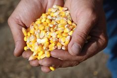 Look at the articles on the Illinois corn corps blog page!