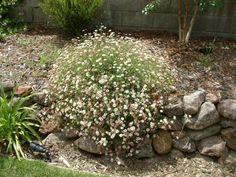 Plant photo of: Erigeron karvinskianus