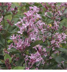 LILAS MICROPHYLLA BLOOMERANG® Pink Perfume cov