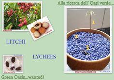 How our Lychees grew in a pot! Son cresciuti i litchi nel vaso!