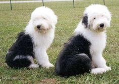 Two Old English Sheepdogs looking back over their shoulders towards the camera, sitting in a grass field.