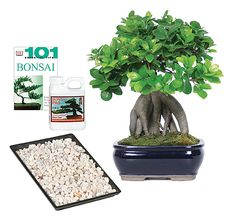 Plant Delivery- Ginseng Grafted Ficus Complete Gift Plant Delivery, Ficus Tree, Indoor Bonsai, Potted Plants, Gifts, Garden, Pot Plants, Ficus, Presents