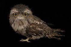 Owlet --sweet! OvO