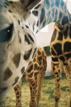 Giraffe in your face! Beautiful Creatures, Animals Beautiful, Baby Animals, Cute Animals, Wild Animals, Animal Photography, Animal Kingdom, Mammals, Cool Photos