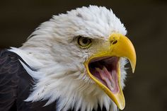 screaming eagle heads | Screaming doesn't help anymore. I wish I could say this horrible ...