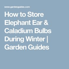 How to Store Elephant Ear & Caladium Bulbs During Winter   Garden Guides