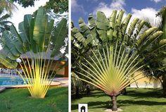 Árvore do viajante, conheça esta e mais 25 plantas resistentes ao sol.