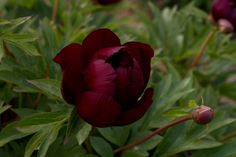 Brooks Gardens Peonies — Intersectional Itoh peony Chief Black Hawk - rare peony plant