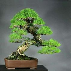 Bonsai Pine Bonsai, Bonsai Plants, Bonsai Garden, Garden Trees, Trees To Plant, Ikebana, Bonsai Styles, Miniature Trees, Growing Tree