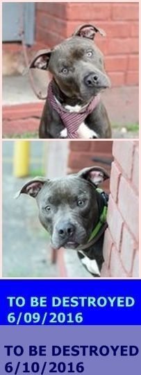 Brooklyn Center My name is MAYWEATHER. My Animal ID # is A1075668. I am a male black am pit bull ter mix. The shelter thinks I am about 2 YEARS old. I came in the shelter as a OWNER SUR on 05/30/2016 from NY 11221, owner surrender reason stated was NO TIME. http://nycdogs.urgentpodr.org/2016/05/mayweather-a1075668/