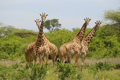 Find Yourself in Africa - Find yourself in Africa African Giraffe, Change, World, Places, Animals, Animales, Animaux, Animal, The World