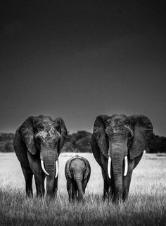 Body guards, Elephants, Kenya, 2013 © Laurent Baheux photographer - Inspired by Nature since 1970