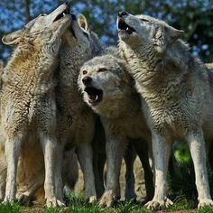 # Stop Wolf Hunting, Love wolves. I wish MN would ban the wolf hunt! They are beautiful and should be left alone.