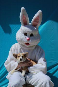 Evil bunny, cute corgi