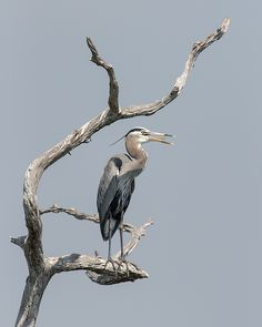 From Florida Birds Collection by artist Dawn Currie -   The early morning call of this Great Blue Heron (Ardea herodias) hovered over the wetlands at the Green Cay Nature Center calling attention to himself, perched high on the blue-gray branches of an old tree. Custom framed prints, canvases, and more available. #birds #birdphotography #birdphotos