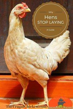 Hens stop laying for many reasons. Here's reasons why and how to figure out why yours aren't laying. #chickens #homesteading