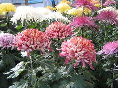crisantemo cultivo - Buscar con Google