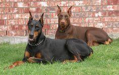 Tengo miedo de los perros.Estos sono los dobermans,son malos.