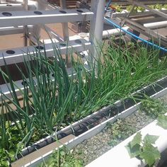 White spring onions with the darker leaves and red spring onion with lighter green leaves growing well with watercress got cucumbers growing nft style and oak leaf lettuce peaking out in the backround. by greencityfarmsjozi Hydroponic Growing, Hydroponic Gardening, Aquaponics, Gardening Tips, Nft Hydroponics, Raised Bed Garden Design, City Farm, Vertical Farming, White Springs
