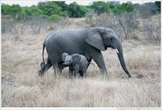 mother and baby elephant tattoo - Google Search