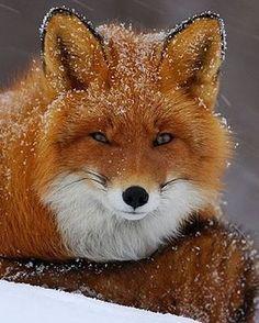 "9,135 Likes, 35 Comments - Destination Wild (@destination_wild) on Instagram: ""Snowy Fox Photo By ©Igor Shpilenok #Destination_wild"""