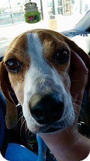 Overland Park, KS - Beagle Mix. Meet Shiloh, a dog for adoption. http://www.adoptapet.com/pet/14195331-overland-park-kansas-beagle-mix