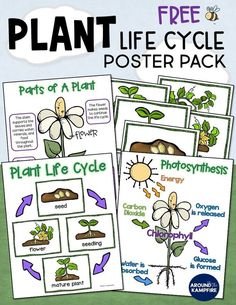 Ideal for and grade teachers for students learning about parts of a plant and photosynthesis. An ideal addition to your life science lessons, plant activities and science bulletin boards too! 1st Grade Science, Kindergarten Science, Teaching Science, Science Activities, Student Learning, Life Science, Earth Science, Teaching Plants, Science Writing
