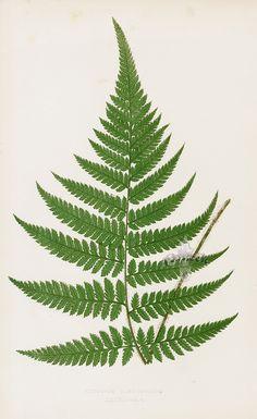 Cibotium from Lowe Antique Fern Prints 1856