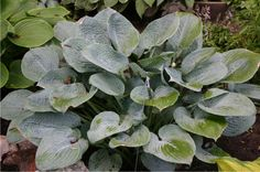 """Hosta 'Blue Hawaii' has heart shaped upright blue corrugated leaves and the colour holds very well throughout the season. White lightly fragrant flowers bloom in early summer. This fast growing hosta will grow over 22"""".It is a good speciman plant. This hosta prefers light to medium shade."""