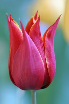 ~~Vibrant tulip close-up by Wantana Tierney Photography~~