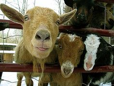 These goats are so cute. It is goats like these that produce the milk we use in our soap come by and visit our site see what you think...  http:/www.nannysgoatmilksoap.com