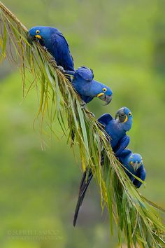 The Blue Hyacinth Macaw Fast Crazy Nature Deals. All Birds, Cute Birds, Pretty Birds, Beautiful Birds, Animals Beautiful, Nature Animals, Animals And Pets, Cute Animals, Exotic Birds
